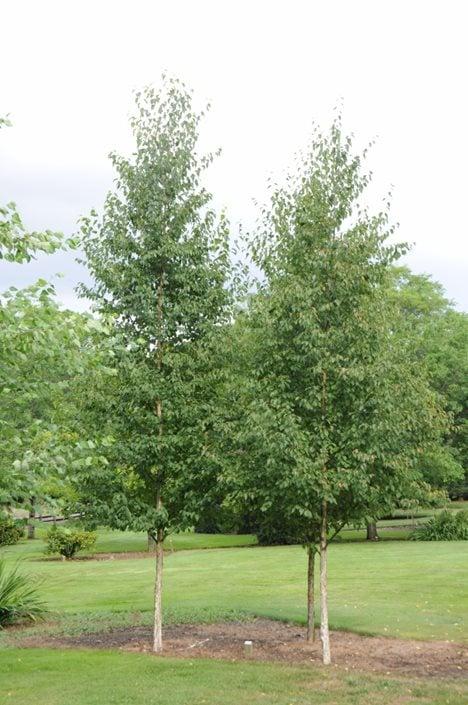 Birch Trees Planting Caring For Birches Garden Design