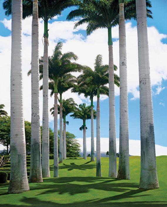 Elegant Royal Palms (roystonea Olercea) Garden Design Calimesa, CA