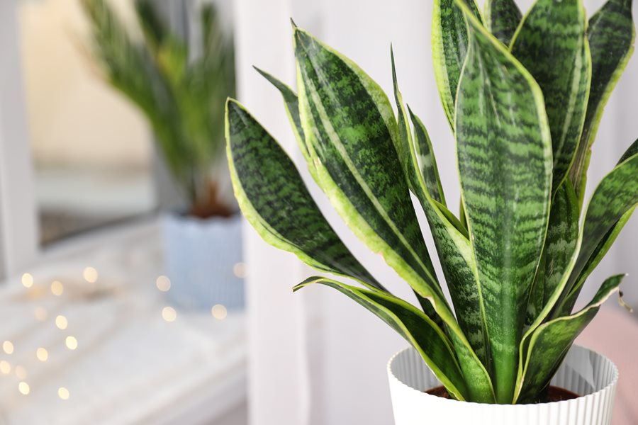 Snake Plant How To Grow And Care For Sansevieria Plants Garden