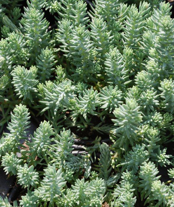 Sedum Rupestre Reflexum Blue Spruce Stonecrop Millette Photomedia