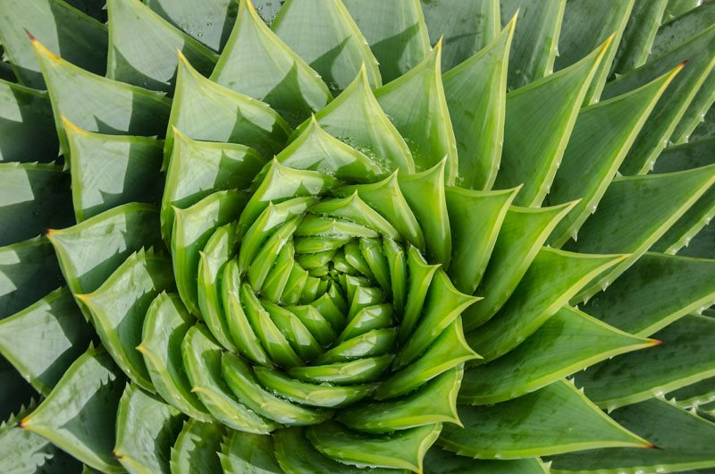 how to grow aloe plants garden design. Black Bedroom Furniture Sets. Home Design Ideas