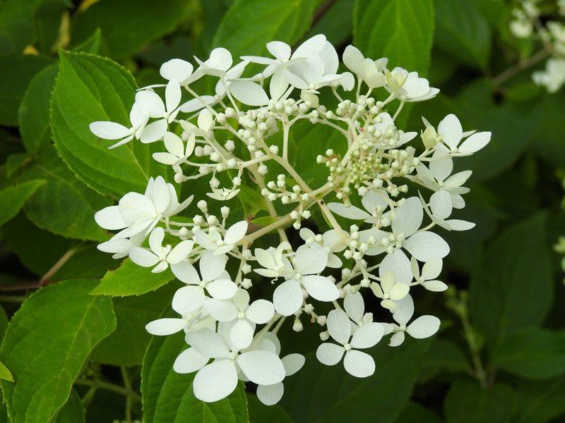 how to grow viburnum shrubs garden design