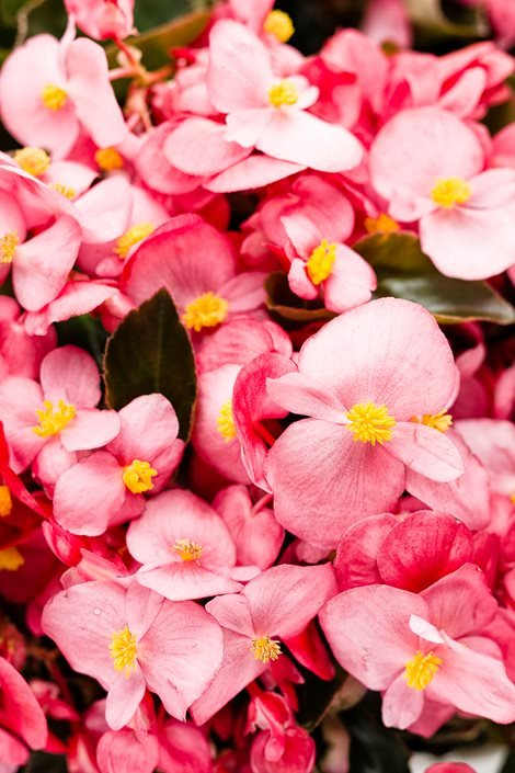 Begonias How To Plant Grow Care For A Begonia Plant Garden Design