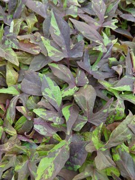 Sweet Potato Vine How To Plant Grow And Care For