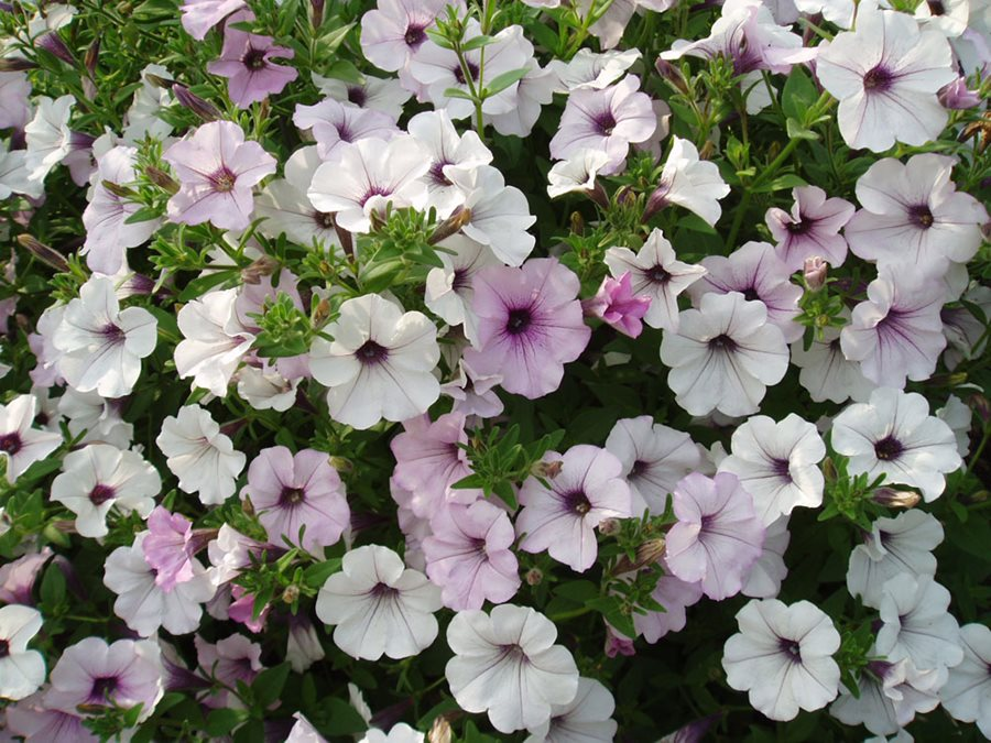 Petunias A Guide To Growing Gorgeous Petunia Flowers