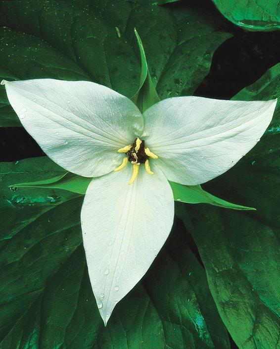 Trillium Flowers Growing Caring For Trilliums Garden Design