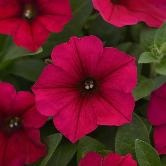 Petunias A Guide To Petunia Care Garden Design