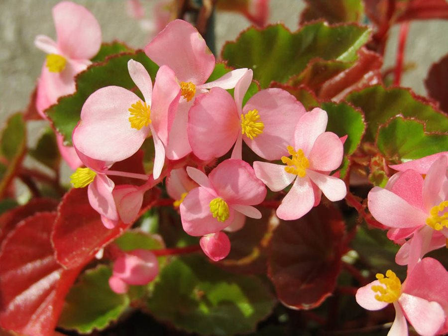Begonias - How to Plant, Grow & Care for a Begonia Plant ... on bonsai leaves, fall color leaves, poinsettia leaves, leaf leaves, wreath leaves, green leaves, fossil leaves, cactus leaves, plants leaves, hedge leaves, snow leaves, honeysuckle leaves, wildflower leaves, grass leaves, bulb leaves, moss leaves, fruit leaves, garden leaves,