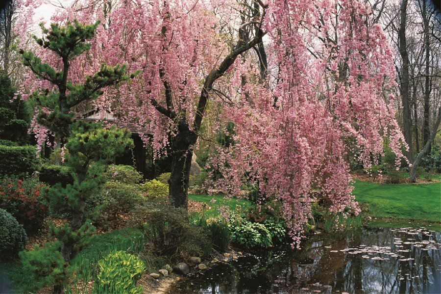 Flowering Cherry Trees Grow An Ornamental Cherry Blossom Tree