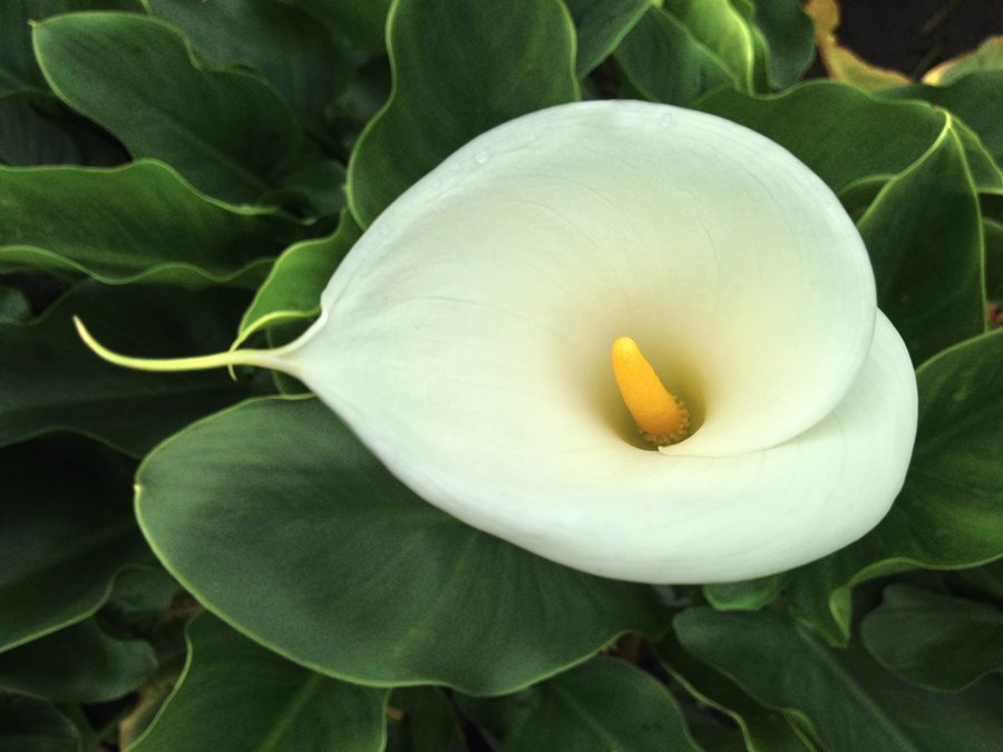 Lilies how to grow care for lily flowers and bulbs garden design calla lily mightylinksfo