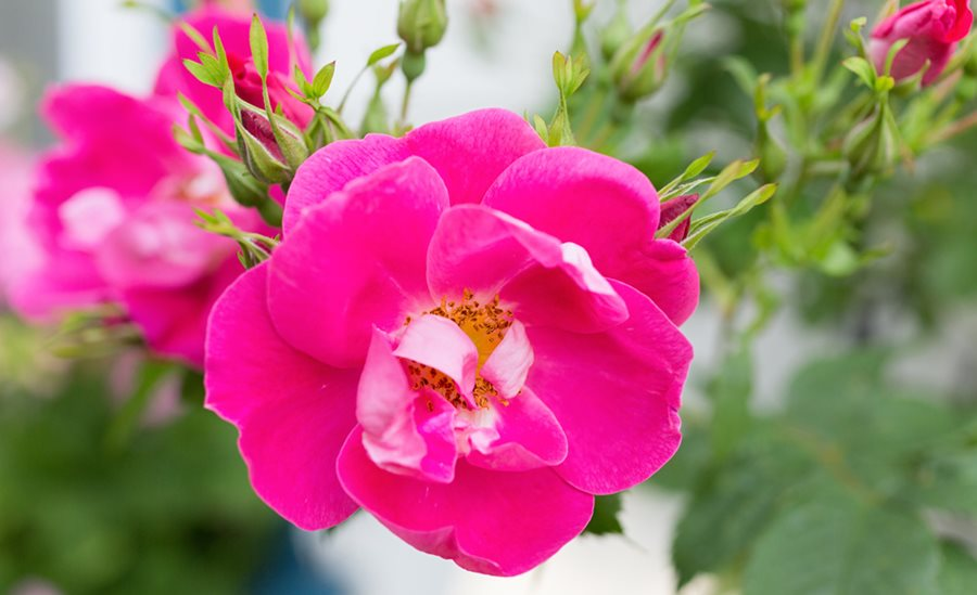 How to grow climbing roses in your garden garden design william baffin climbing rose pink flower shutterstock new york ny mightylinksfo