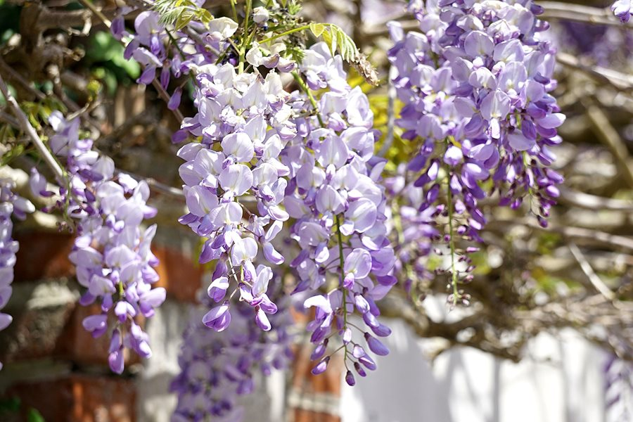 How To Grow Wisteria Garden Design