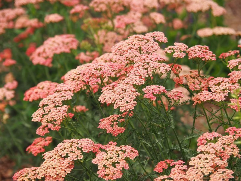 Yarrow Plants Growing Yarrow Flowers Garden Design