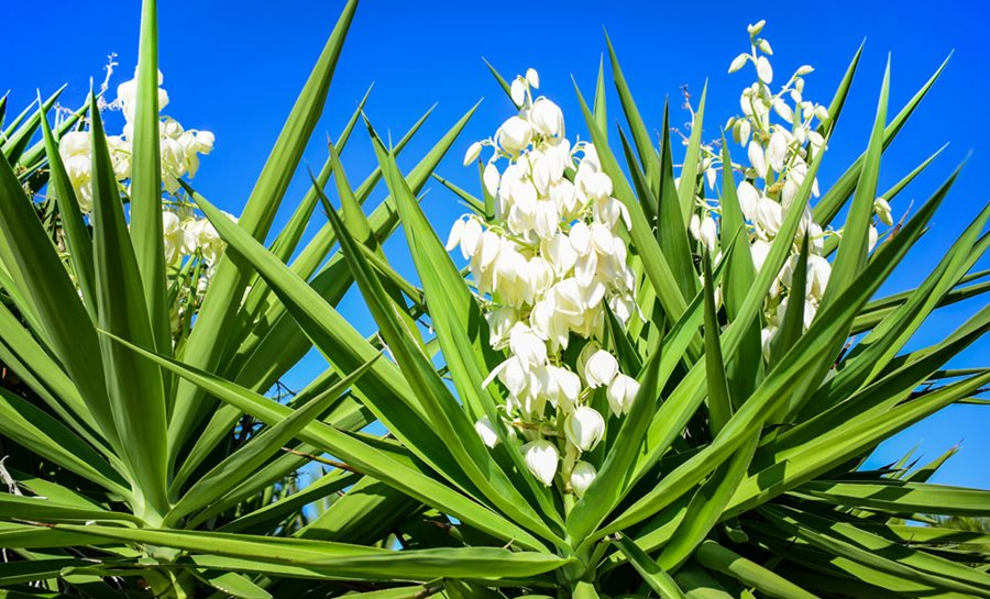 Image result for Yucca