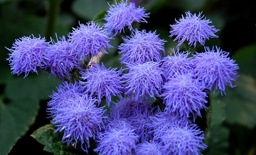 Ageratum How To Grow And Care For Floss Flower Garden Design