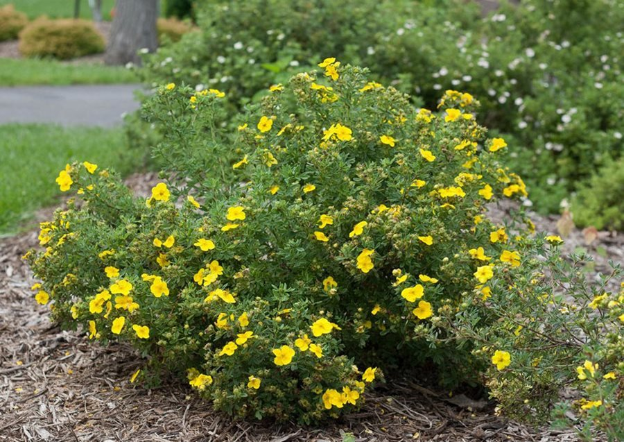 Potentilla How To Grow And Care For Shrubby Cinquefoil Garden