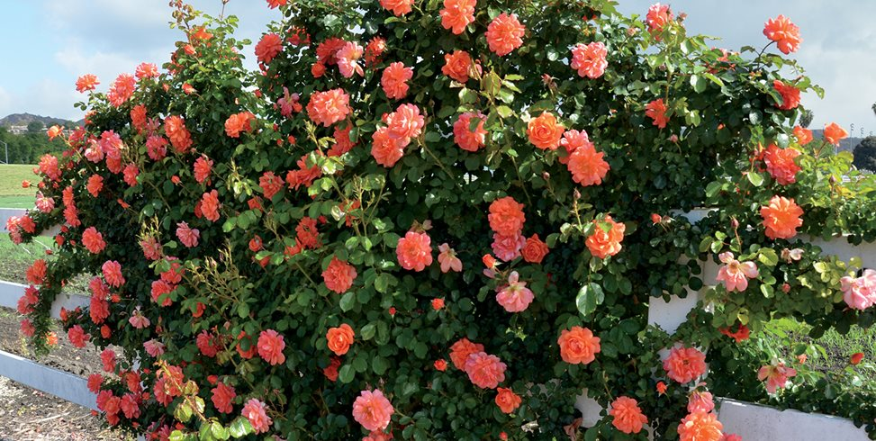Caring for Roses: A Beginner's Rose Growing Guide | Garden Design