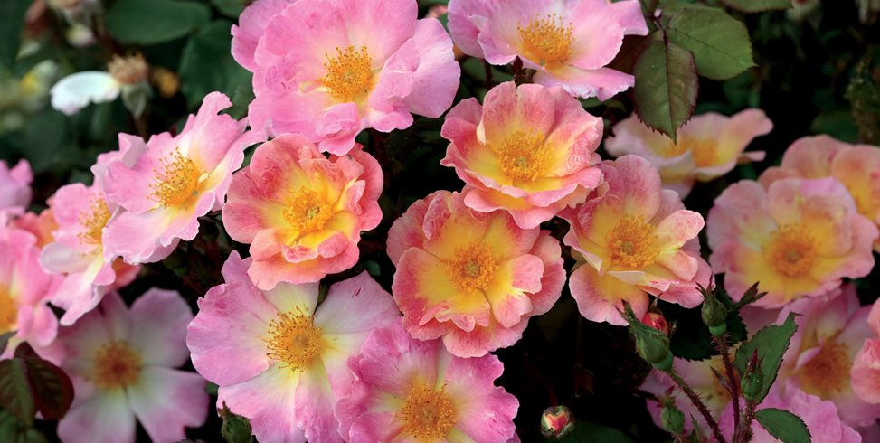 Watercolors Home Run Rose, Shrub Rose Weeks Roses Wasco, CA