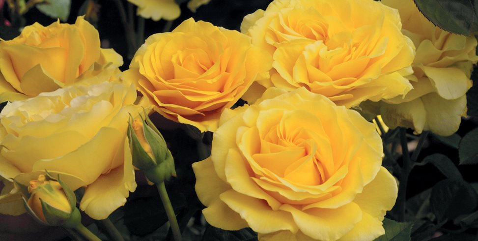 Doris Day, Yellow Rose Weeks Roses Wasco, CA