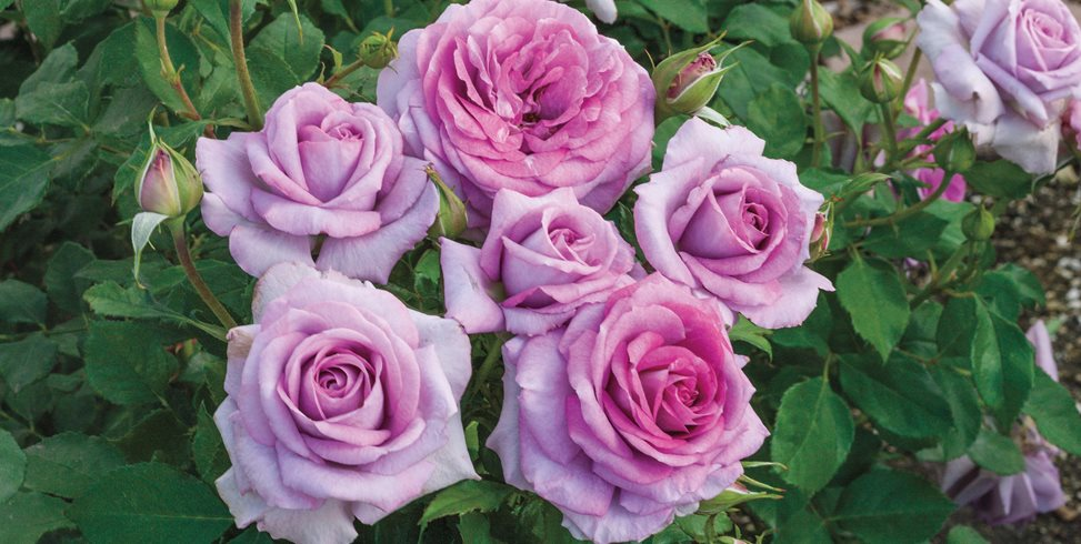 How To Choose The Best Roses For Your Garden Garden Design