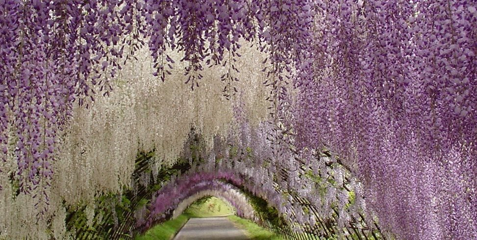 Japanese wisteria tunnel garden design Wisteria flower tunnel path in japan