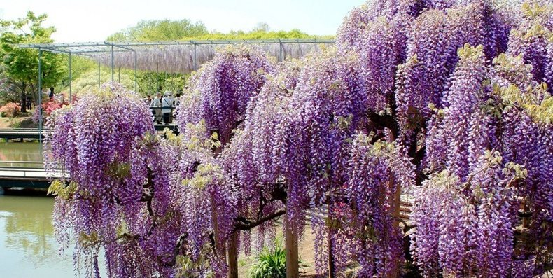 Japanese Wisteria Tunnel Garden Design