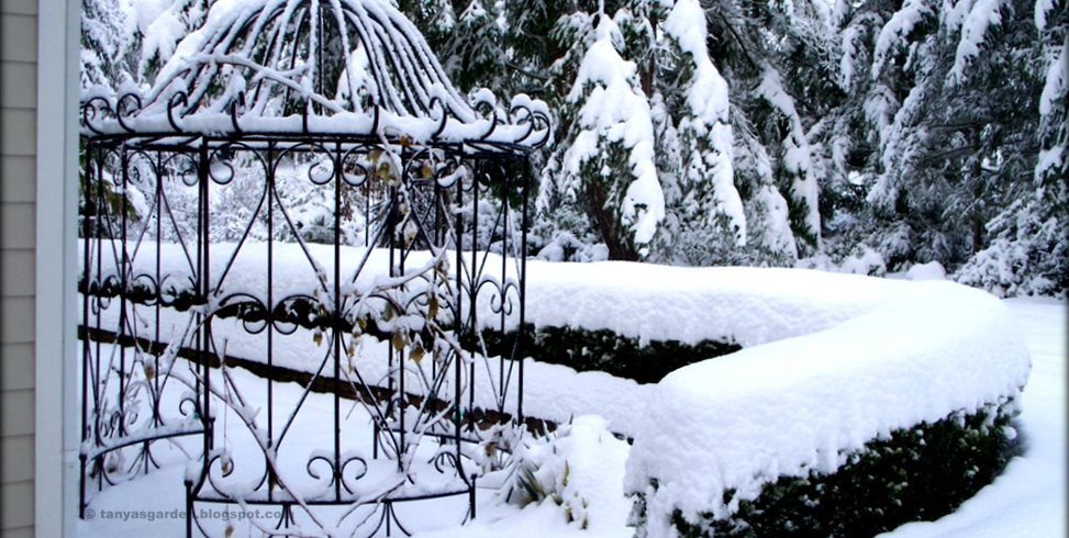 Snow, Winter Garden, Japanese Holly Garden Design Calimesa, CA