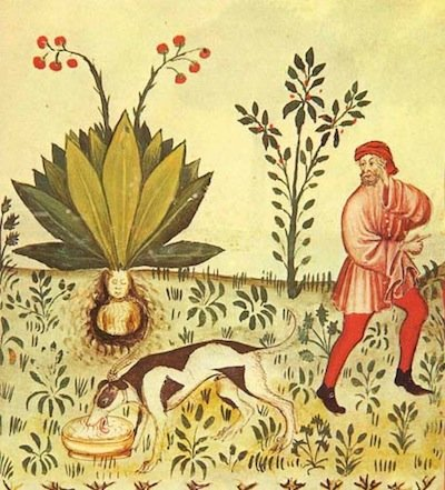 Mandragora from 15th century manuscript