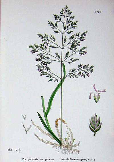 English-Botany-Or-Coloured-Figures-Of-British-Plants-Edited-By-JohnBoswellC1902