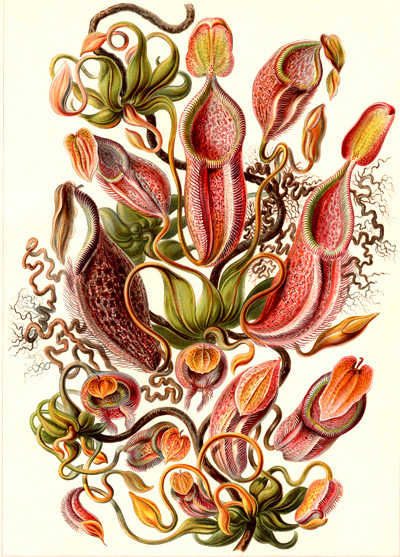Haeckel-pitcher plant