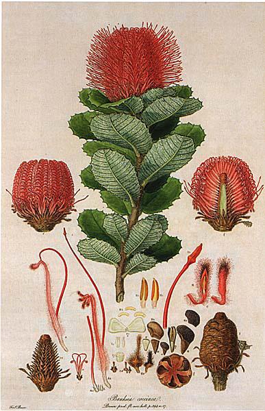 Bauer Banksia coccinea