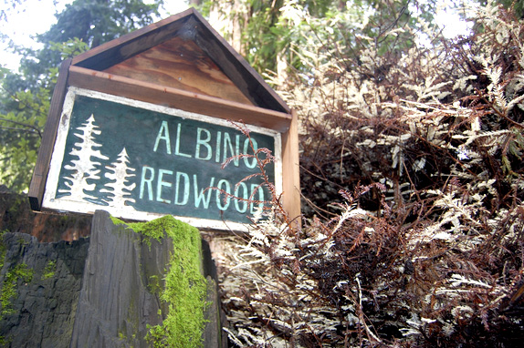 redwood albino