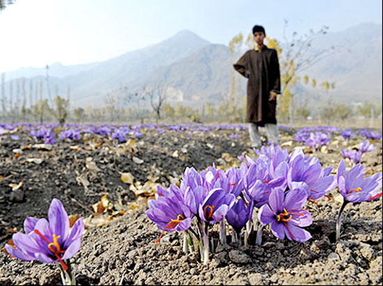 saffron fields