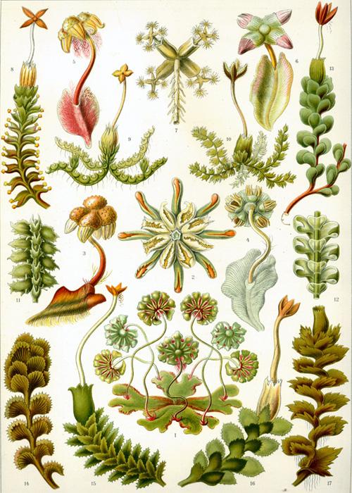 Haeckel-liverworts