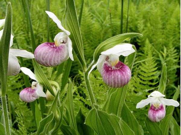 Queen Lady Slipper
