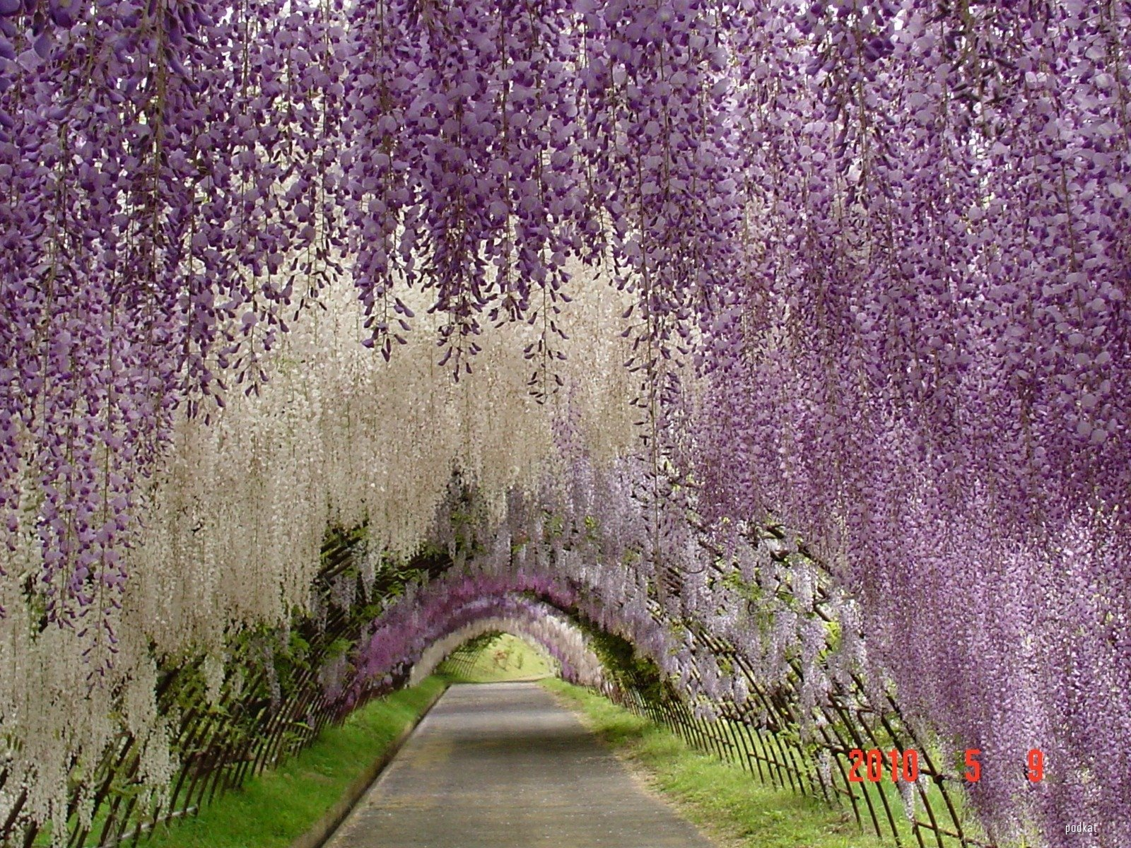 wisteria tunnel 2