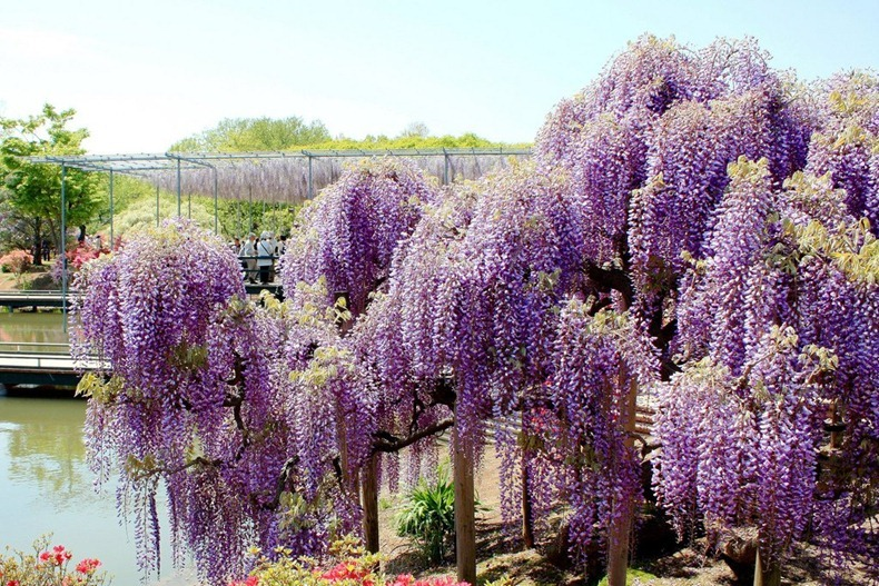 wisteria tunnel 4