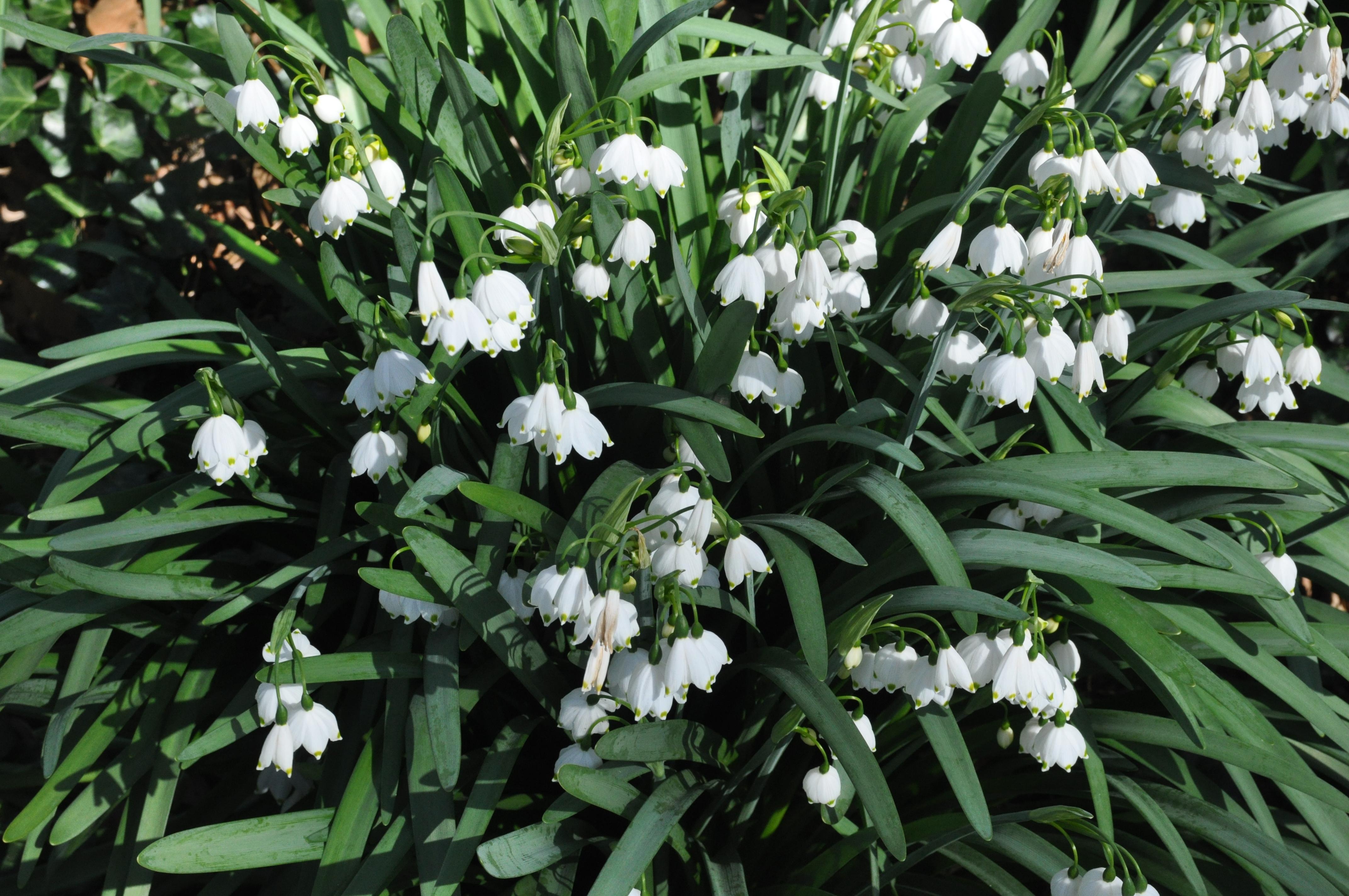 white bulb flowers