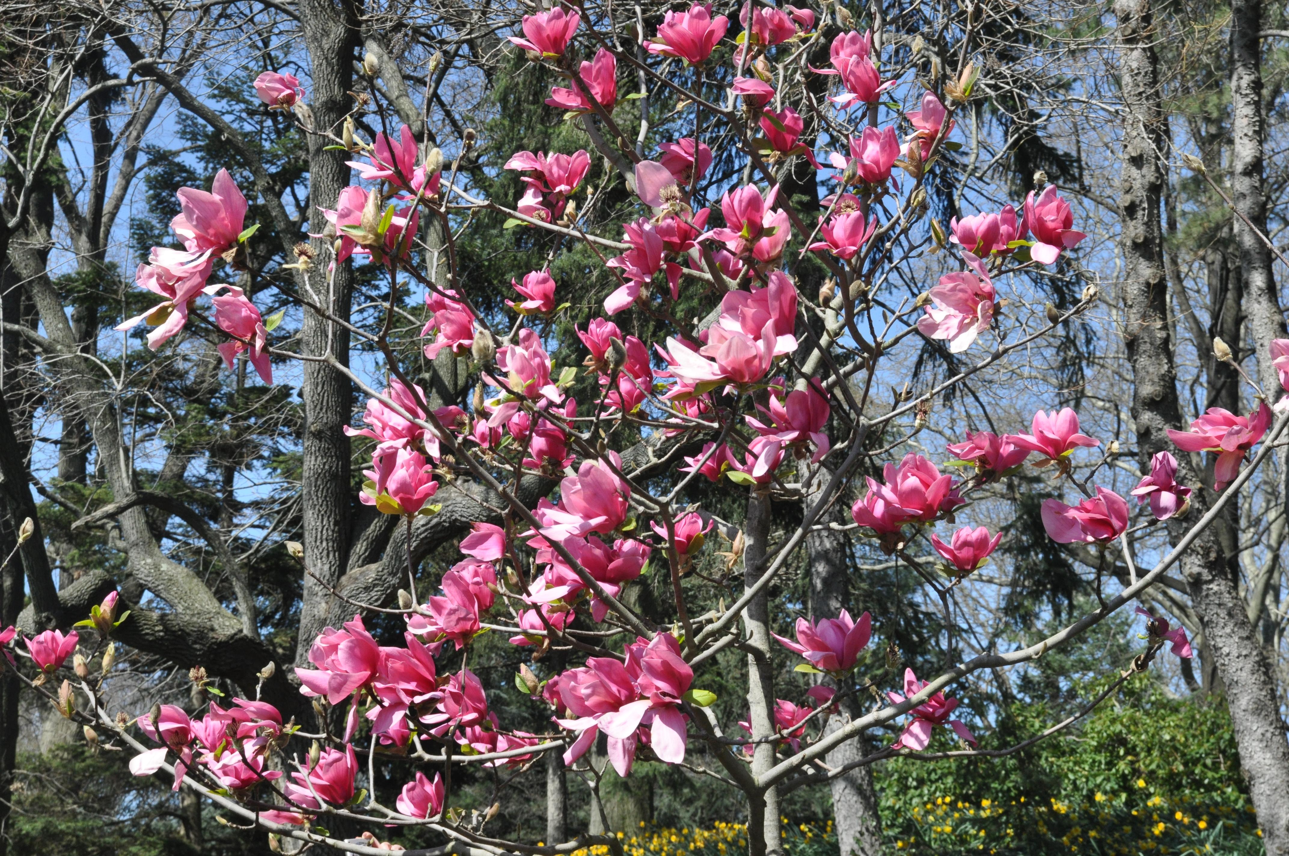 dark pink magnolias