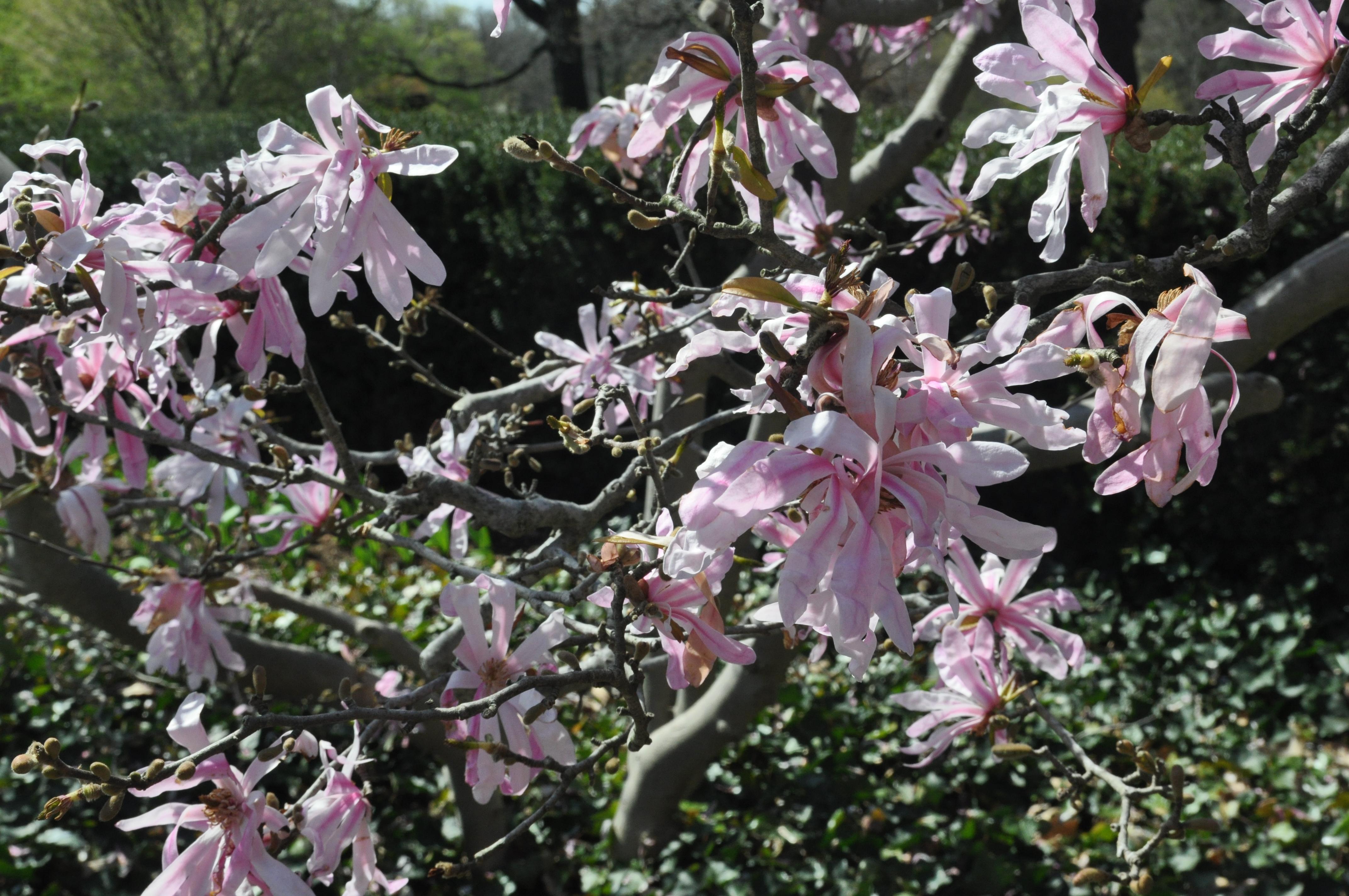 pink magnolia stellata