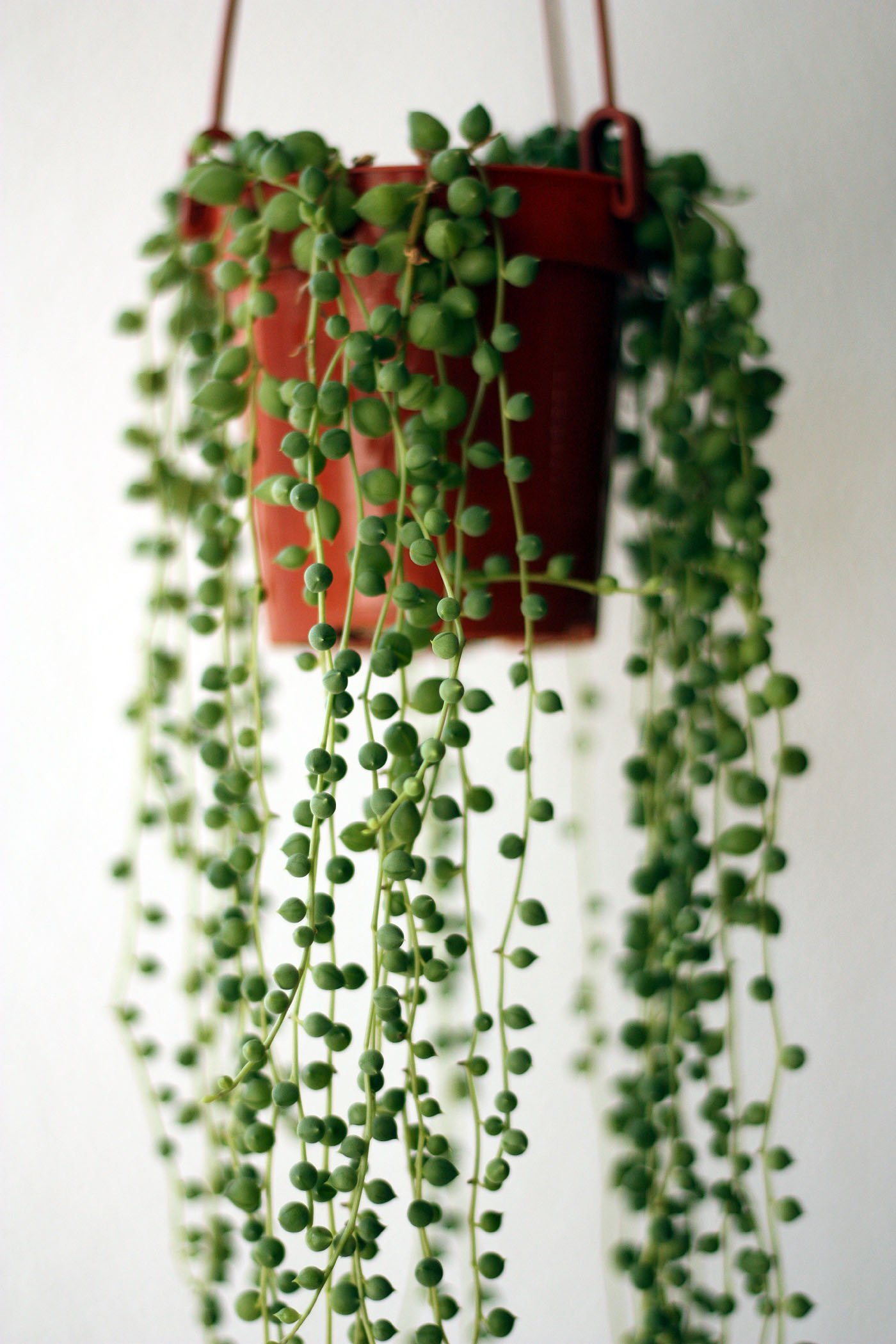 meagan reardon string of pearls plant