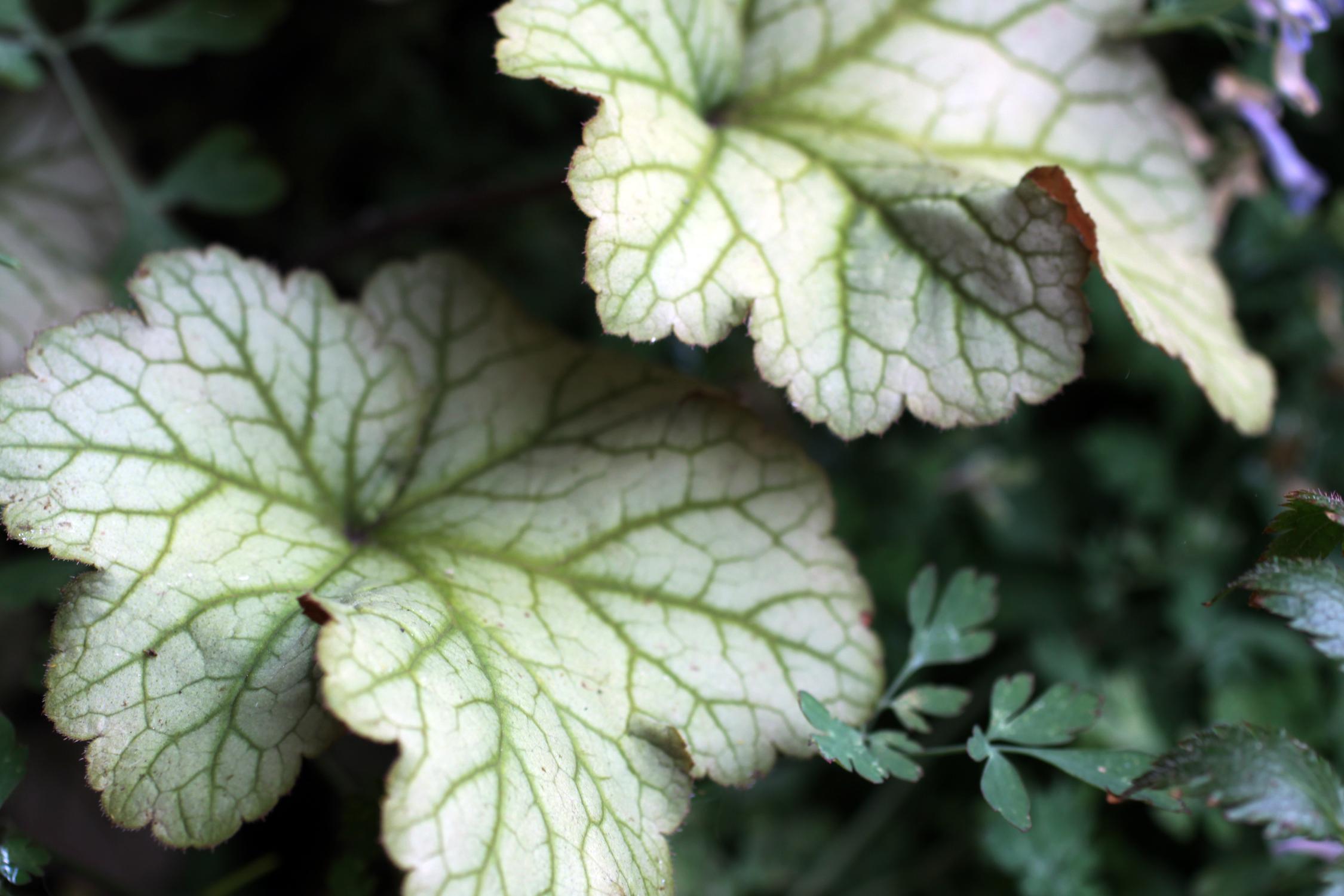 sapuia plant