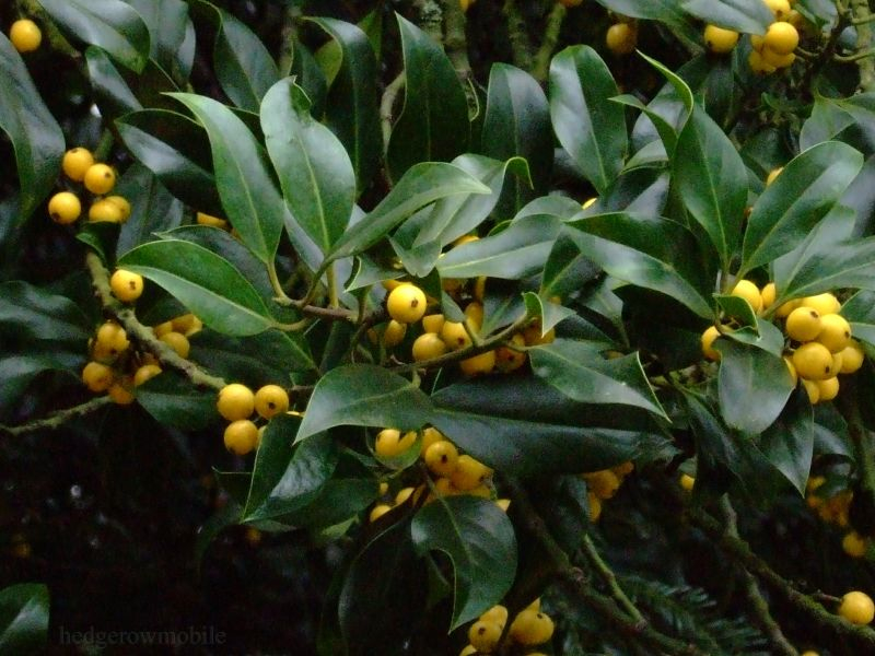 yellow holly berry