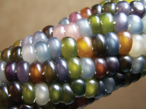 'Glass Gem' decorative corn