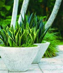 Easy-to-grow Sansevierias