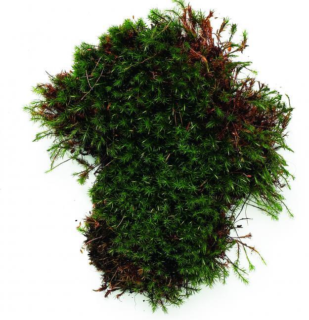 Hair Cap Moss