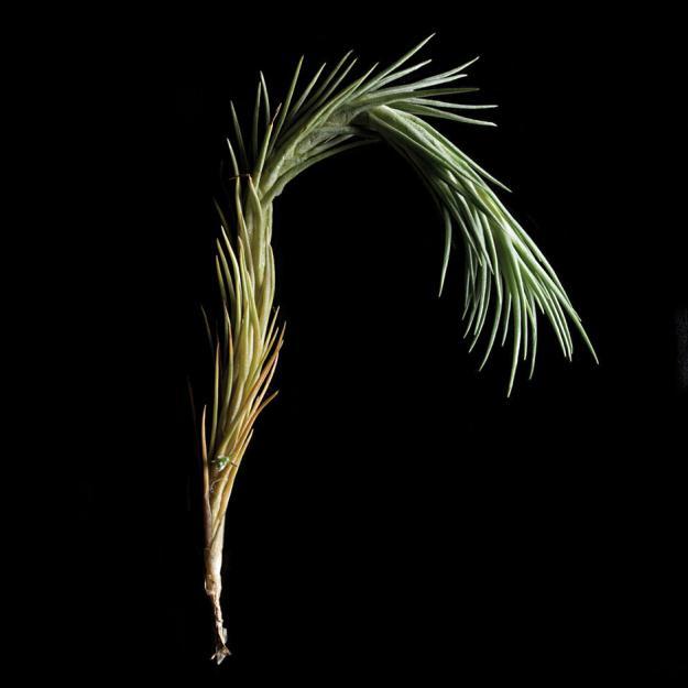 Tillandsia tenuifolia 'Silver Comb'