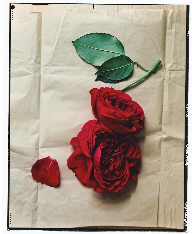 Darcey David Austin roses