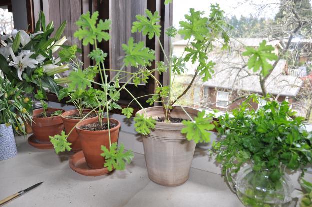 rose geraniums in arrangements