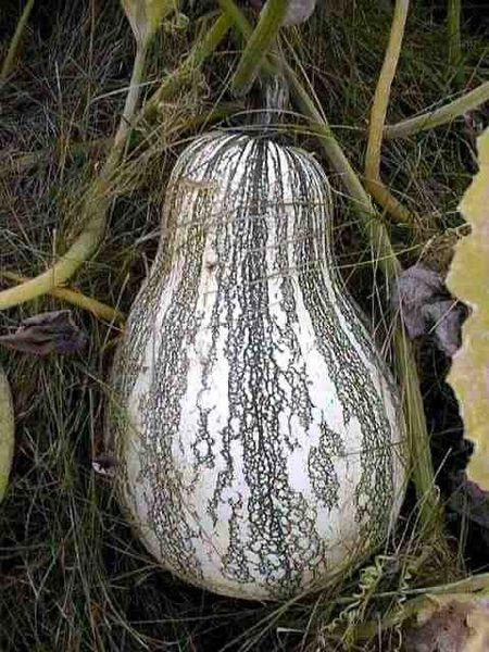 silver edge pumpkin